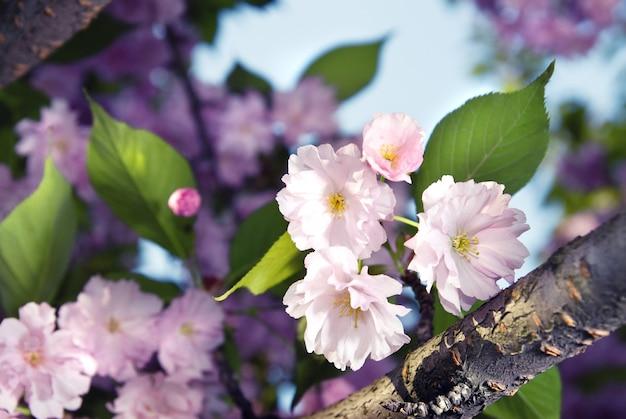 Lentebloesem van paarse sakura