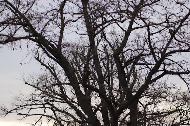 Lenteboom zonder bladeren van blauwe lucht en pluizige witte wolken