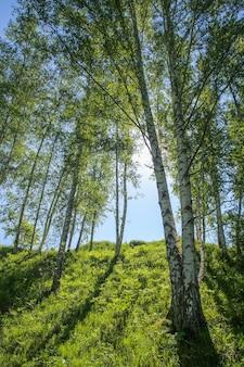 Lentebos, berkenbomen, zon door het gebladerte