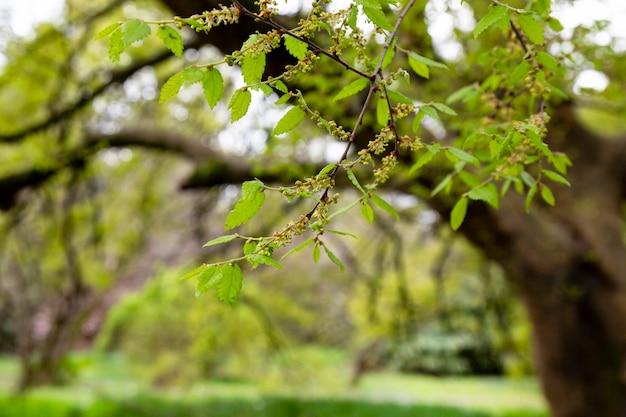 Lentetijd, natuurbehang. jonge boombladeren en knopclose-up.