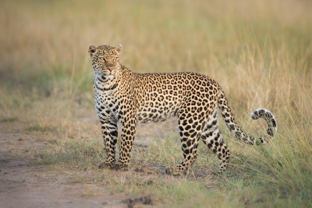Leopard in de natuur