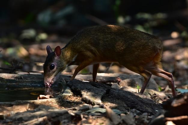 Lesser mouse-deer of lesser oriental chevrotain