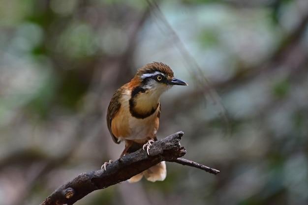 Lesser necklaced laughingthrush zitstokken op tak in de natuur