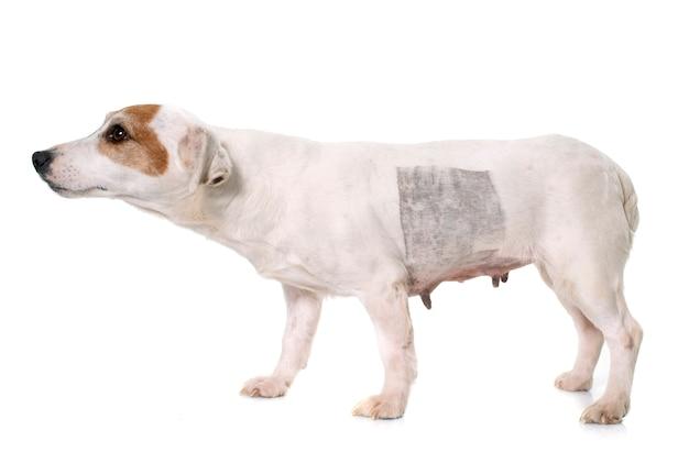 Letsel van jack russel terrier