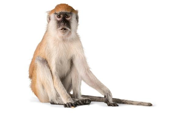 Leuk aapdier dat op wit wordt geïsoleerd