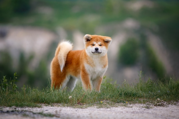 Leuk akita inu-puppy op een gang