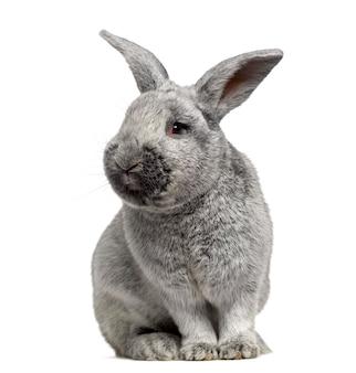 Leuk argente-konijn dat op wit wordt geïsoleerd