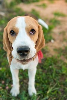 Leuk beagle portret