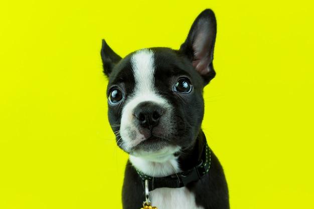 Leuk boston terriërpuppy die aan camera kijken die op gele achtergrond wordt geïsoleerd