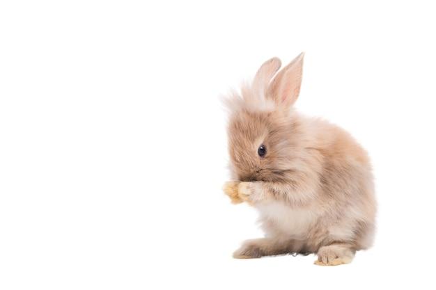 Leuk bruin harig konijntje staat, likt handen in de studio. geïsoleerd op witte achtergrond