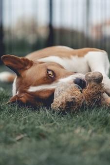 Leuk close-up verticaal schot van een witte en bruine hond met het liggen op een gras met een stuk speelgoed