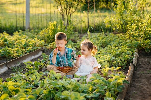 Leuk en gelukkig broertje en zusje van voorschoolse leeftijd verzamelen en eten rijpe aardbeien in de tuin op een zonnige zomerdag. gelukkige jeugd. gezond en milieuvriendelijk gewas.