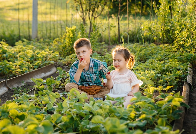 Leuk en gelukkig broertje en zusje van voorschoolse leeftijd verzamelen en eten rijpe aardbeien in de tuin op een zonnige zomerdag.