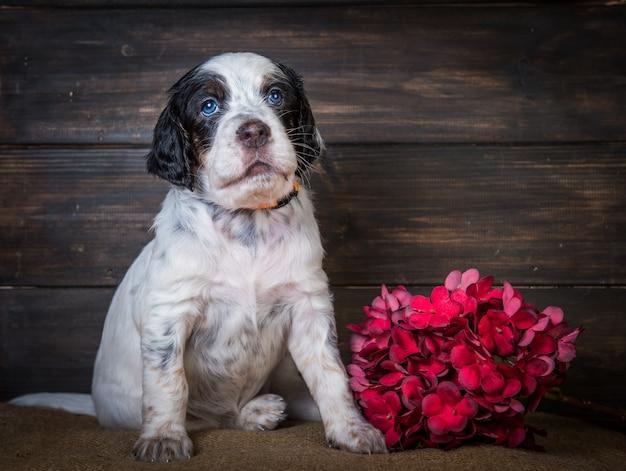 Leuk engels setter puppy hond studio portret geïsoleerd op bruin hout