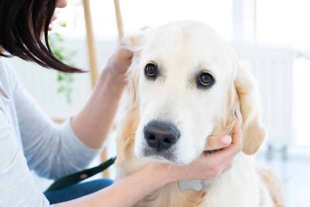 Leuk golden retriever-oor dat binnenshuis onderzoekt