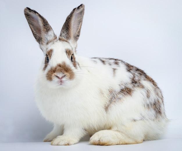 Leuk grijs-wit konijn met lange oren zittend op wit. pasen concept