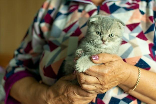 Leuk huisdierenportret. mooie en donzige grijze schotse vouwkat. vrouw houdt baby schotse vouwen grijze kitten.