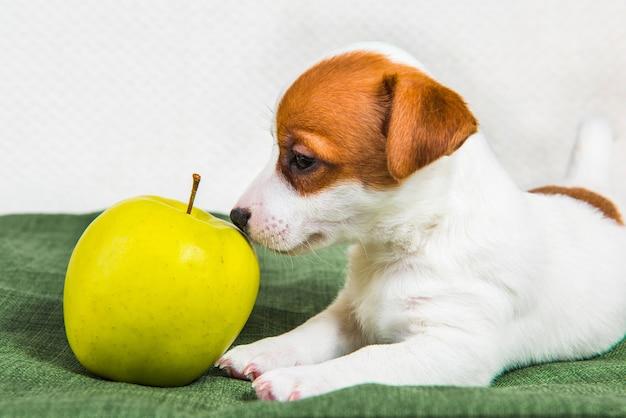 Leuk jack russell terrier-hondpuppy met appel
