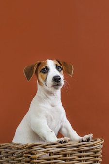 Leuk jack russell terrier-puppyportret.