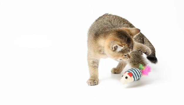 Leuk katje schotse gouden chinchilla recht ras, kat spelen op witte achtergrond, kopie ruimte