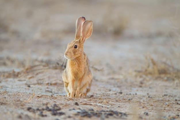 Leuk klein bruin konijn in het midden van de woestijn