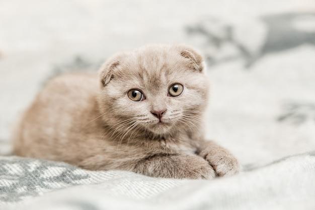 Leuk klein grijs katje. schotse vouw op het grijze bed