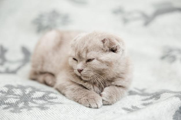 Leuk klein grijs katje. scottish fold, slapend op het grijze bed