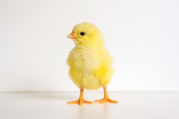 Leuk klein klein pasgeboren geel babykuiken op wit oppervlak