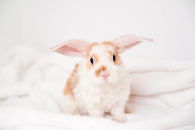 Leuk klein oranje en wit kleurenkonijntje met grote oren. konijn op witte achtergrond.