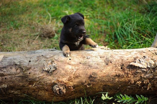 Leuk klein zwart puppy dat een logboek probeert te beklimmen