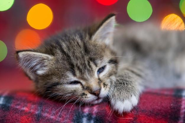 Leuk pluizig grijs katje met donkere strepen die op een rode plaid van multicolored kerstmislichten slapen