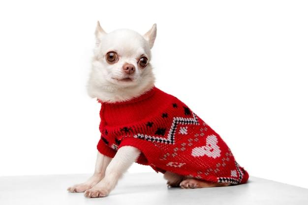 Leuk poseren. kleine chihuahua pup poseren in rode jumpsuit geïsoleerd op een witte achtergrond. concept van kerstmis, 2021 nieuwjaar, winterstemming, vakantie. copyspace voor advertentie, briefkaart, wenskaart. ziet er goed uit