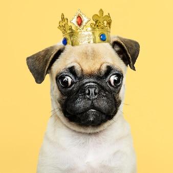 Leuk pug puppy in een gouden kroon