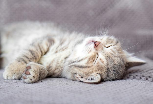 Leuk tabby katje ligt op grijze zachte bank. kat rust op zijn rug dutten op bed. comfortabel huisdier slapen in een gezellig huis.
