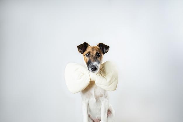 Leuk vlot fox-terrierpuppy met stuk speelgoed vlinderdaszitting in geïsoleerd. jonge hond met vlinderdas die thuis in wit stellen