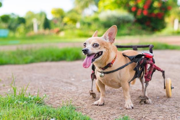 Leuk weinig hond in rolstoel of kar die op grasgebied loopt