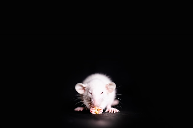 Leuk weinig rat die een koekje eet, huisdierenrat die een traktatie eet. pluizig knaagdierhuisdier met kleine handen die voedsel houden.