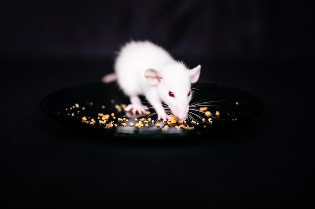 Leuk weinig rat die kruimels op de plaat eten, huisdierenrat die een traktatie eten. pluizig knaagdierhuisdier met kleine handen die voedsel houden