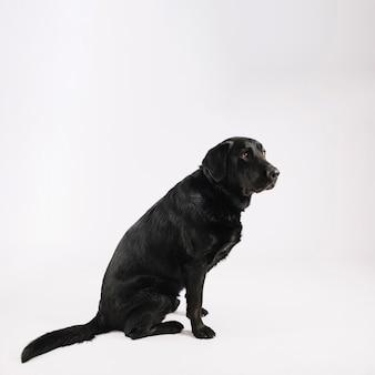 Leuk zwart labrador