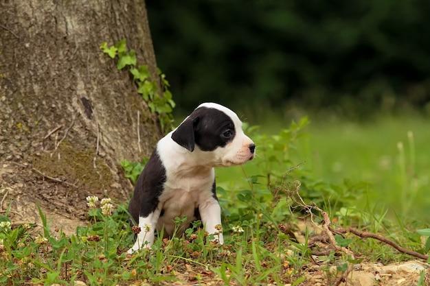 Leuke amstaff puppyhond