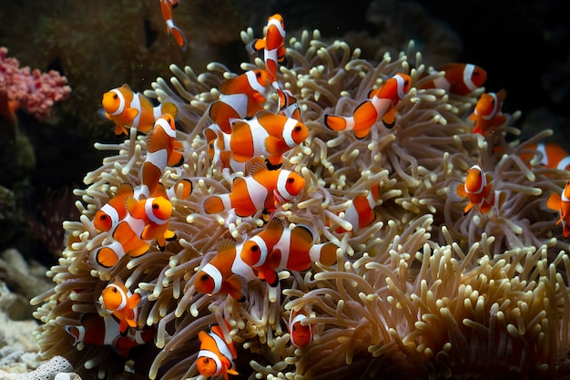 Leuke anemoonvissen die op het koraalrif spelen