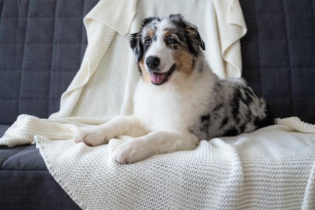 Leuke australische herder blauwe merle puppy hondje. verschillende kleuren ogen. onder witte plaid. huisdier warmt op onder een deken bij koud winterweer. huisdieren zorg concept.