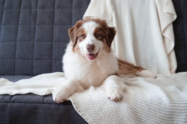 Leuke australische herder rood drie kleuren puppy hondje. verschillende kleuren ogen