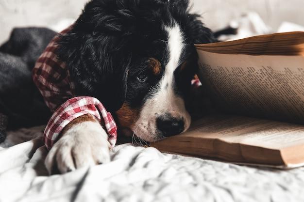 Leuke berner sennenhond met rood overhemd op deken met een boek en glazen.
