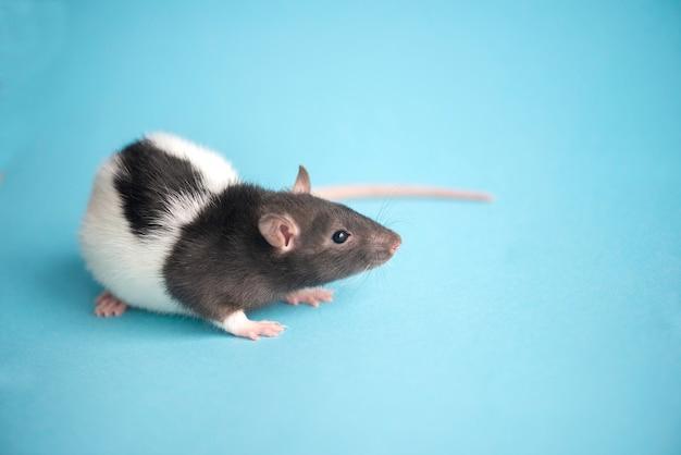 Leuke binnenlandse rat die op blauwe achtergrond, nieuwjaarrat wordt geïsoleerd