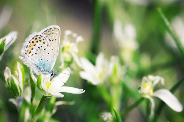 Leuke blauwe vlinderzitting op witte bloemen, natuurlijke achtergrond, insect in aard