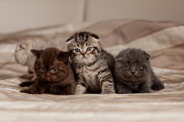 Leuke britse katjes van mooie kleuren zitten op een plaid