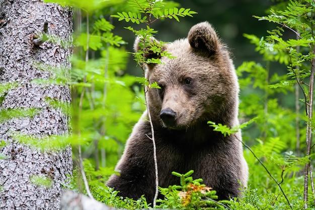 Leuke bruine beer opzij kijkend in bos tijdens de zomer.
