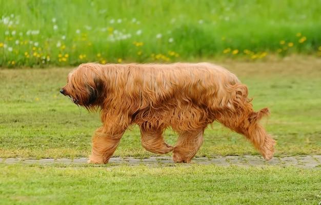Leuke bruine briardhond die in een park loopt