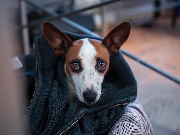 Leuke bruine en witte hond met een vriendelijke uitstraling in huis